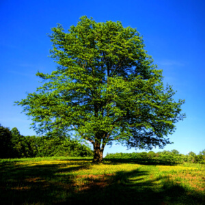 big old mature tree standing on a green meadow